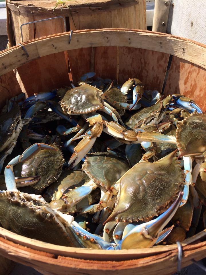 bushel of uncooked maryland blue crabs