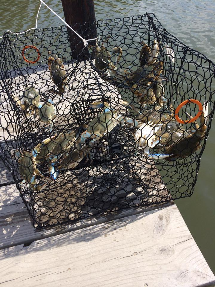 crabs in crab pot on pier at combsberry inn oxford md
