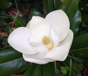 blooming white magnolia on bush at combsberry inn md