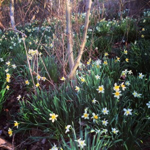 combsberry inn oxford md daffodil bush