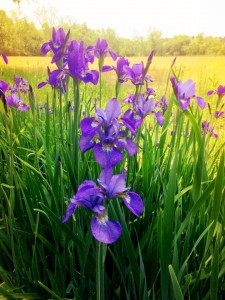 wild purple iris with open field in background at combsberry inn