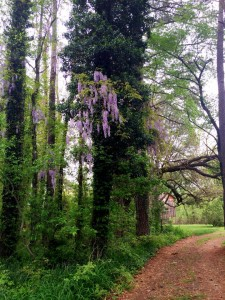 purple wisteria bloomed on tree at combsberry inn