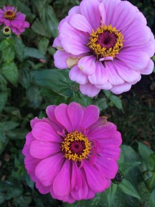 two large purple zinnias on bush combsberry inn