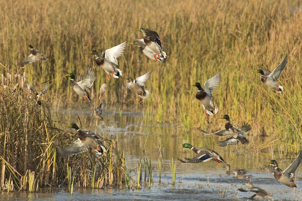 ducks landing in river around river grass