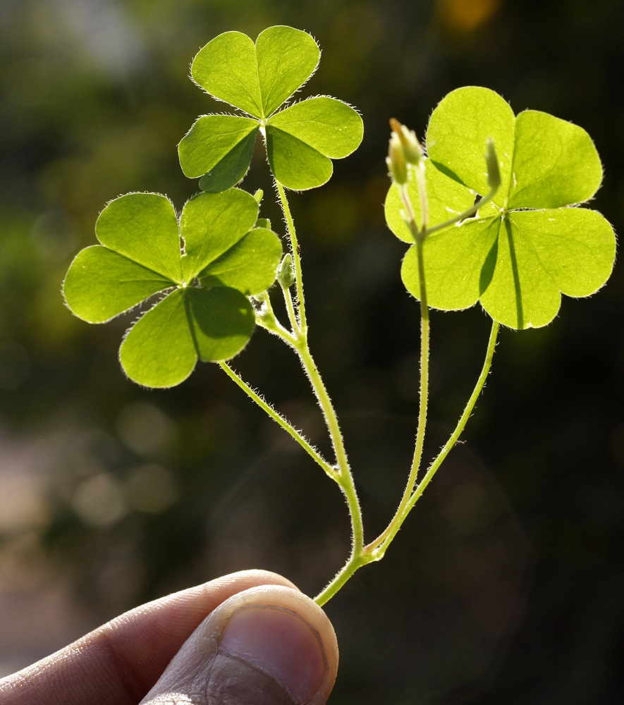 hand holding up cluster of clover
